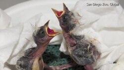 Endangered Hawaiian Birds Get Second Chance