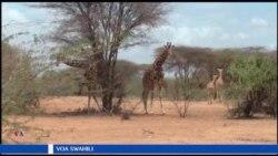Mzozo wa wakulima na wanyama eneo la Garissa nchini Kenya