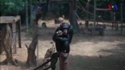 İnsanların şimpanzelərə təsiri