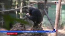پناهگاه شامپانزه ها در سیرالئون
