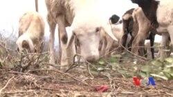 Quénia: Seca afecta comunidades que dependem da pastorícia