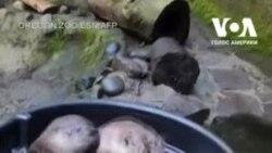 Видри в зоопарку Орегона під час спеки прохолоджуються у ванні з льодом. Відео