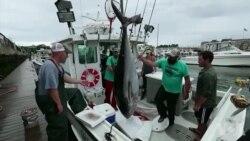 濒危物种金枪鱼数量恢复