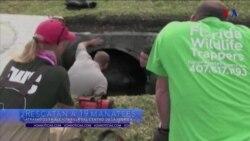 Rescatan a manatíes en Florida