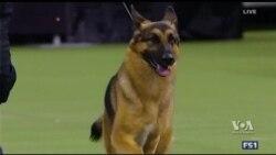 แชมป์งานประกวดสุนัข Westminster Dog Show ที่นิวยอร์ก