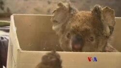 ၾသစေတးလ်ႏိုင္ငံ Kangaroo ကၽြန္း မီးေလာင္ဒဏ္ရာရ koala ၀က္၀ံေလးမ်ား