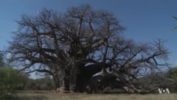 Africa's Iconic Baobab Trees are Dying