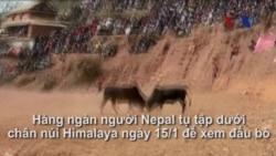 Lễ hội đấu bò ở vùng núi Himalaya