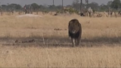 Cecil, beloved Zimbabwean Lion, Killed