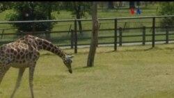 Estudio de la jirafa
