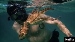 The documentary 'My Octopus Teacher' chronicles how filmmaker Craig Foster studies and learns from a female cephalopod.