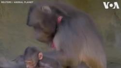 Opération cardiaque pour trois singes du zoo de New York