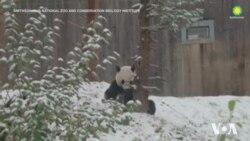 Панда насолоджується першим снігом у зоопарку Вашингтона. Відео