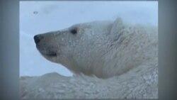 Белый медведь на тонком льду