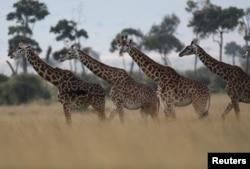 FILE - Giraffes are seen in Masai Mara National Reserve, Kenya, Aug. 3, 2019.