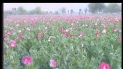 Afg'onistonda afyun yetishtirish hajmi oshgan