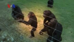 Chimpanzees Threatened by High Demand, Illegal Trade