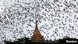 Bats from a cave fly over Wat Khao Cong Phran Temple in search of food during dusk in Ratchaburi province, 130 km (81 miles) west of Bangkok, September 14, 2009.