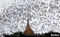 FILE - Bats from a cave fly over Wat Khao Cong Phran Temple in search of food during dusk in Ratchaburi, 130 km west of Bangkok, September 14, 2009.
