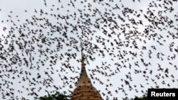 FILE - Bats from a cave fly over Wat Khao Cong Phran Temple in search of food during dusk in Ratchaburi province, 130 km (81 miles) west of Bangkok, Sept. 14, 2009.