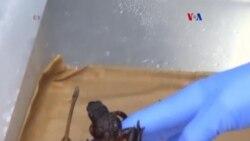 Raba Jambato de Páramo regeresa de la extinción