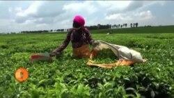 کینیا: چائے چننے والے مزدوروں کا روزگار خطرے میں