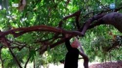 Mersin'in Tropikal Meyveleri: Avokado