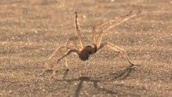 Araña acrobática inspira robot