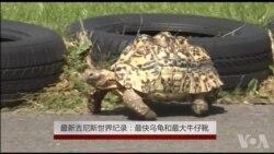 最新吉尼斯世界纪录:最快乌龟和最大牛仔靴