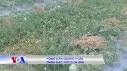 Nông dân Quảng Ngãi 'đánh bạc' với dưa hấu