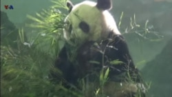 Bei Bei Sapa Penggemar di Kebun Binatang Washington DC