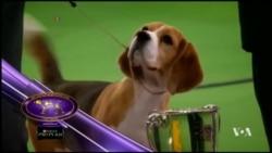 'Miss P' สุนัขพันธุ์บีเกิลเจ้าของรางวัลสูงสุดรายการประกวดสุนัข Westminster