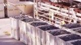 Переработка отходов виноделия