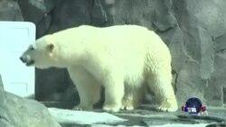 阿拉斯加科学家致力于保护北极熊