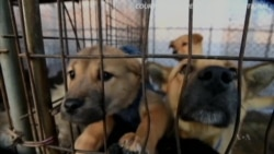 Dogs Saved From South Korea Meat Farm Find New Homes