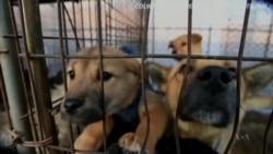 ลูกสุนัขโชคดี 23 ตัวที่รอดชีวิตจากโต๊ะอาหารในเกาหลีใต้ มาถึงอเมริกาแล้ว