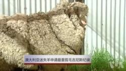 澳大利亚迷失羊申请最重剪毛吉尼斯记录