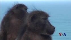 用捕食动物的声音警告狒狒:世上没有免费午餐