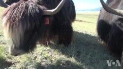 西藏牦牛进驻美国高原