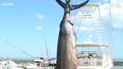 Bắt được cá marlin khổng lồ nặng 650 kg