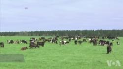 美国农民使用高科技监控牛群