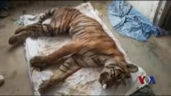 大战鳄鱼出名的印度母虎去世