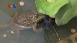 Frogs the frontline in defense against agriculture pests