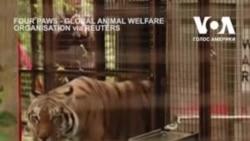 Врятований тигр з України знайшов новий дім у притулку для тварин у Нідерландах. Відео