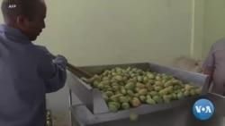 Algérie:la nouvelle vie d'un village grâce au figuier de Barbarie
