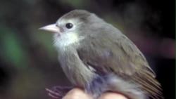 夏威夷濒危鸟类获得二次机会
