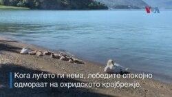 Кога луѓето ги нема, лебедите уживаат на охридското крајбрежје