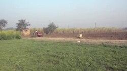 Фармерите во Индија загрозени од се поголемиот број крави што шетаат слободно