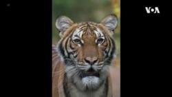 紐約動物園老虎確診感染新冠肺炎