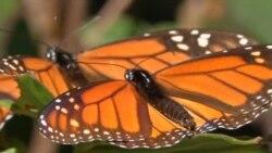 4.500 kilómetros de mariposas Monarca